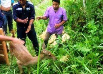 BKSDA Maluku melepasliarkan 3 ekor satwa liar dilindungi jenis Rusa timor (Cervus timorensis mollucensis) di kaki gunung Manusela. (foto : BKSDA Maluku)