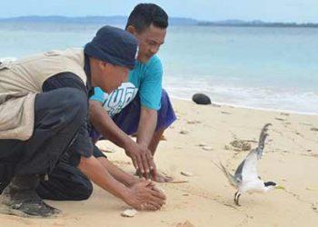 BKSDA-Maluku-Tim-Gabungan-Berhasil-Tandai-Dara-Laut-Jambul