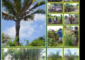 Penataan dan Pengembangan Tanaman Sagu di Desa Sumber Agung, SBT.